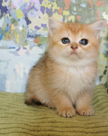 Кошечка золотая шиншилла