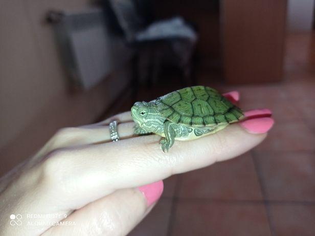 Швидка маленька черепаха + тераріум + корм. Доставка по Україні