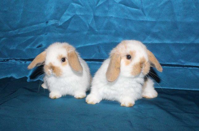 Вислоухие декоративные кролики (баранчики)