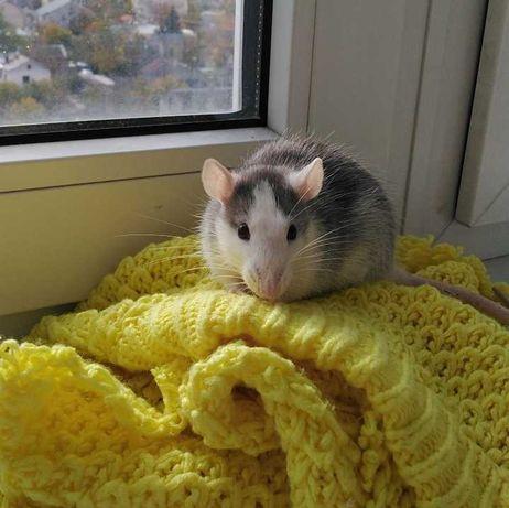 Крыса с клеткой.