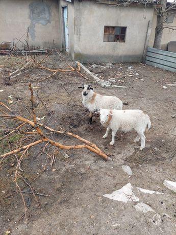Owce młode baranki na ubój lub do dalszego chowu jest cztery sztuki