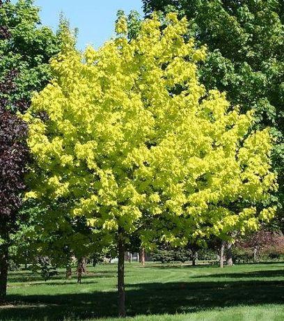 Acer platanoides PRINCETON GOLD klon pospolity PRINCETON GOLD