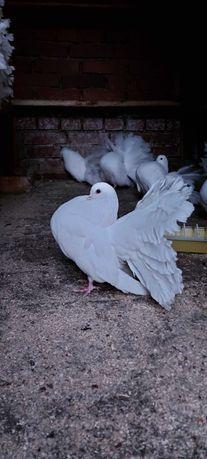 Продам голубей павлинов
