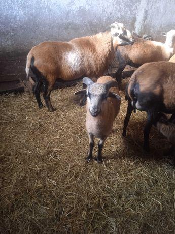 Owce kameruńskie mlode