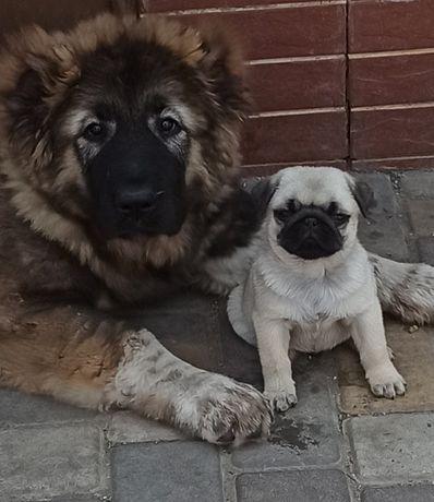 Продам щенка мопса
