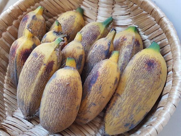 Bananeiras vários tamanhos bananas grandes