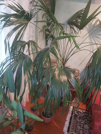 Вазон пальма велика