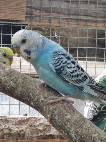 Papużki faliste 2021
