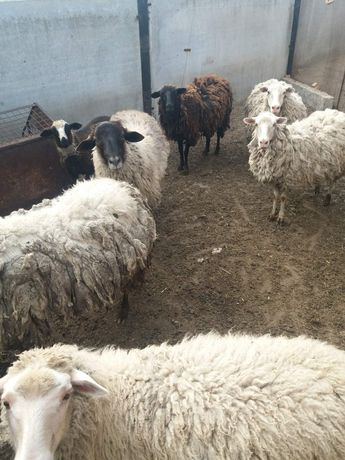 Овцы  количество 7 шт.