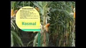 Kukurydza nasiona Kosmal FAO 260 Dużo odmian