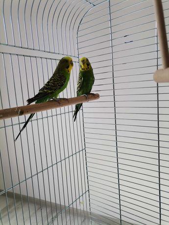 Sprzedam parę papug falistych +klatka