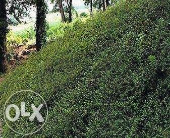 Irga Szwedzka Ursynów ładne zimozielone krzewy