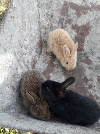 Kroliki króliki 5 miesięcy  hodowlane