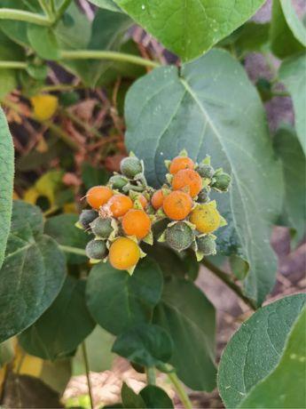 Tomarilho anão (fruto)