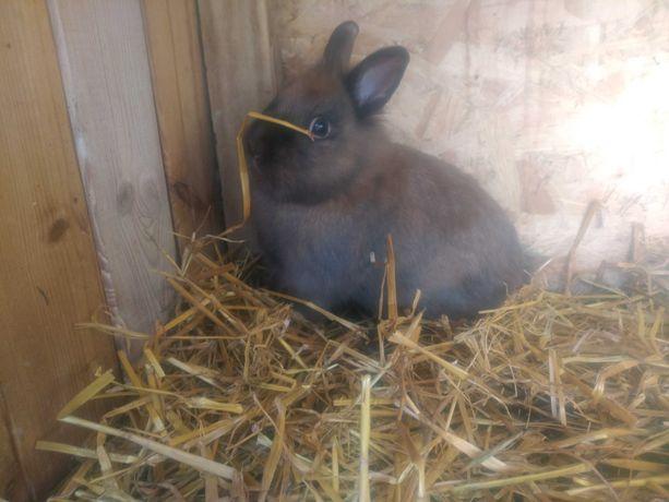 Sprzedam królika miniaturkę samczyk