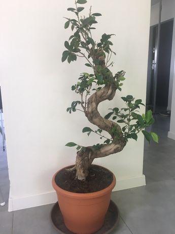 Ficus Bonsai Drzewko