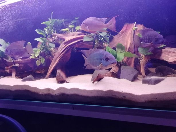 stado pielęgnic hoplarchus psittacus (zielone papugi), ryby f0