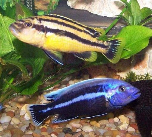 Pyszczak Melanochromis Chipoke
