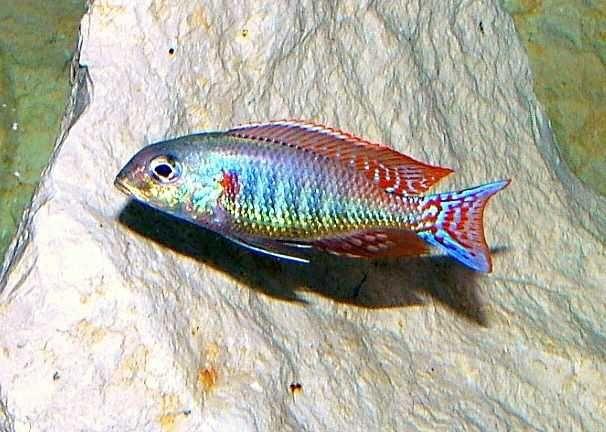 Sprzedam pyszczaki malawi Lethrinops marginatus Red fin matema