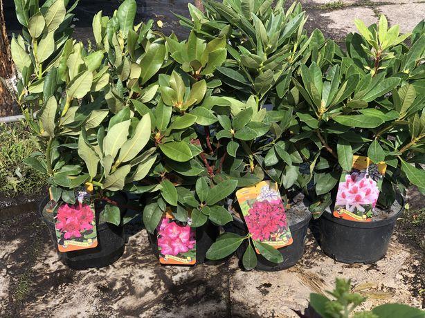 Rododendrony Różne Kolory