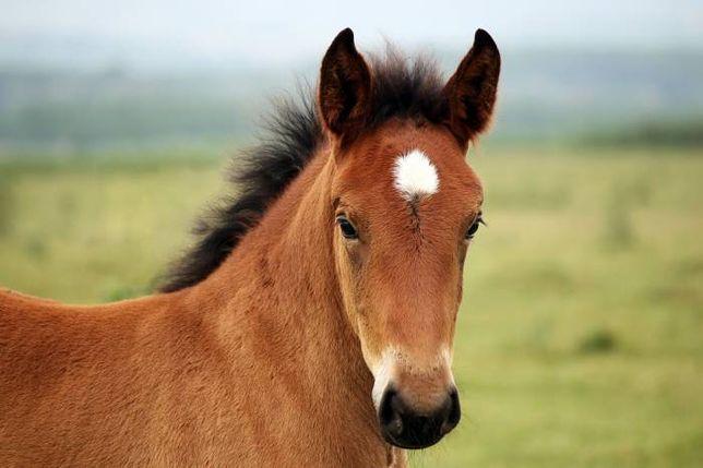 promocja źrebak źrebaki koń konie mleko w proszku dla zrebaka
