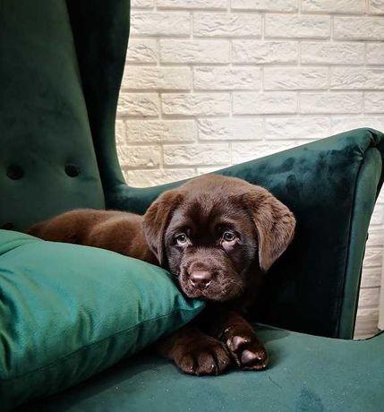 Labrador Retriever Czekoladowe