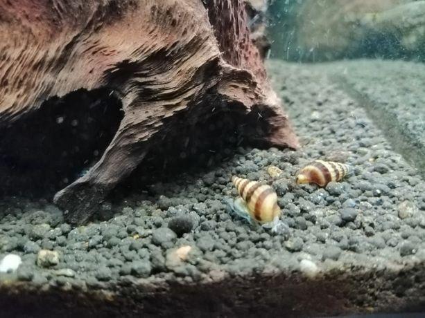 Ślimak Helena na inwazje ślimaków.