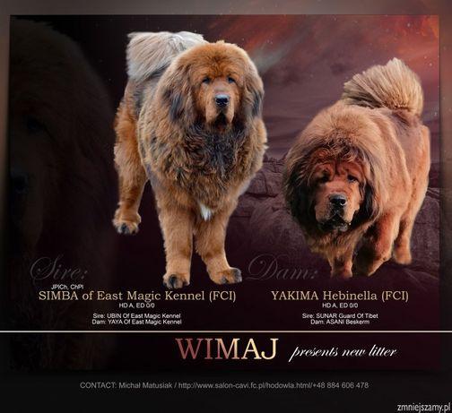 Mastif Tybetański ZKwP - lion typ 100% china