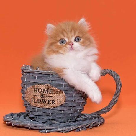 Рыжий прямоухий котик.