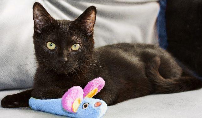 Ищет хорошие руки черный котенок, кастрированный мальчик, 7-8 месяцев