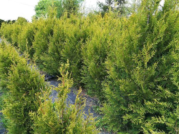 TUJE z gruntu i w doniczkach szmaragd stożkowy od 60 cm do 2,5 metra