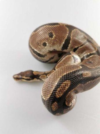 Wąż królewski normal 2
