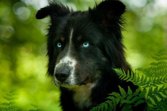 SZAMAN-husky,border- wyjątkowy pies dla kreatywnych ludzi