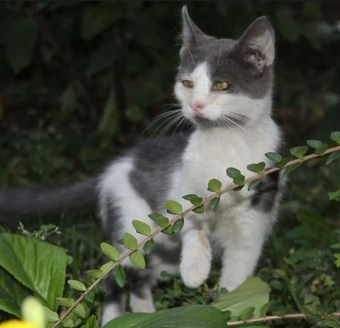 Котенок девочка, уже стерилизована