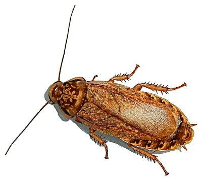 Мраморный таракан (Nauphoeta cinerea).