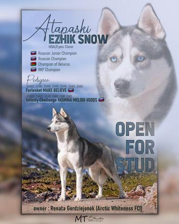 Siberian husky krycie reproduktor FCI Champion Rosji i Białorusi