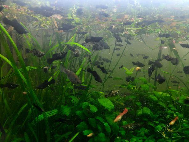 Rybki Molinezje mix