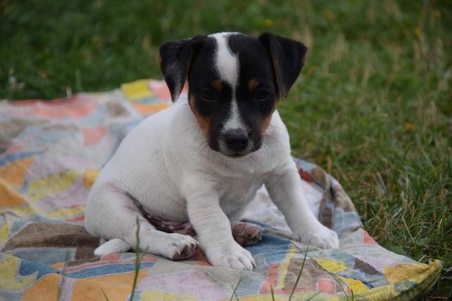 PIESEK tricolor  Jack Russel Terrier