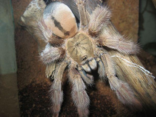 Паук Psalmopoeus pulcher 3.5 см по телу самка