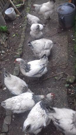 ovos pintos de varias raças