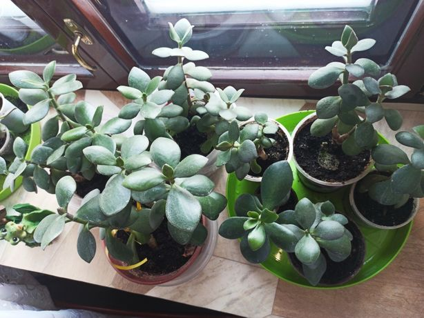 Толстянка за все растения 500 рублей
