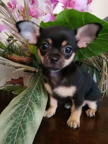 Iwo Chihuahua Krótkowłosy z Hodowli Bajeczne Urwisy