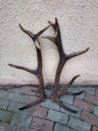 Poroże jelenia - para 14-tak 5,70 kg