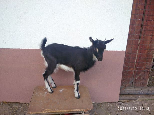 Koza z młodą kózką