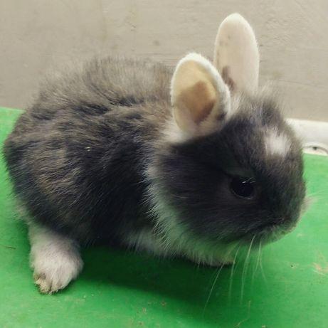 Кролик гладкошорстный