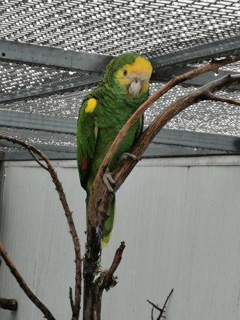 Papagaio amazonas barbadensis