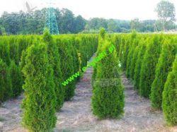 Drzewko 160cm Tuja szmaragd 140-160cm Dostawa gratis Suwałki żywopłot