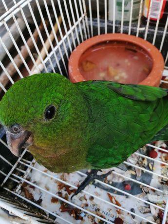 Vendo king Parrot criado á mão
