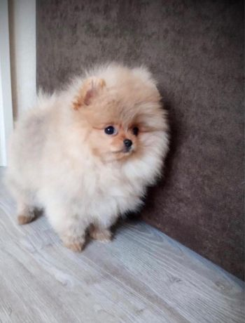 Mini Sunia Pomeranian