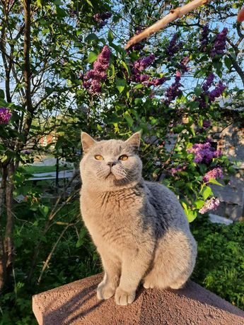 Шотландський котик